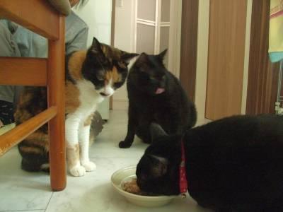キャットフードを食べてるさしみを見るけむし、ピッチョルニ、