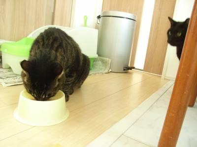 キャットフードを食べてるぱうひろを見るピッチョルニ